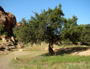 Argan_Tree_near_Tafraoute
