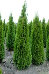 Thuja-occidenatlis-398x600